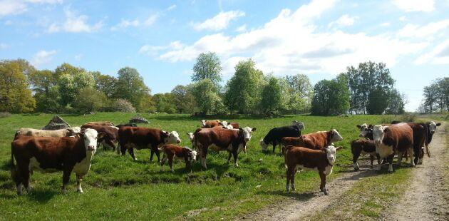 Djuren bidrar med ett öppet landskap och en attraktiv närmiljö för de privatbostäder som ska byggas på delar av den mark som ingår i egendomen. Här går djuren på Gluggebetet på Göksholms gård.