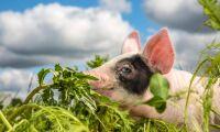 Flest grisar i Skåne