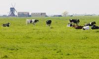 Grisbönder vinnare i Nederländerna