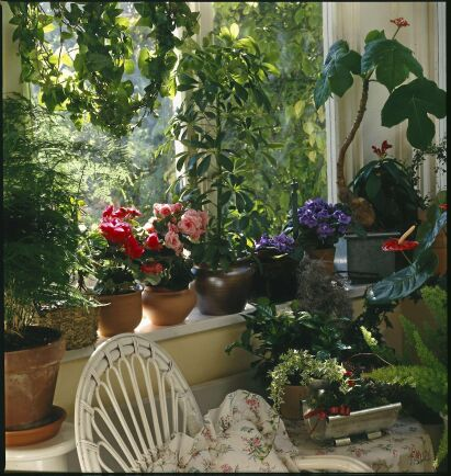 Fjädersparris, begonior, flamingoblomma, saintpaulia och mycket mer från gamla tiders blomfönster.
