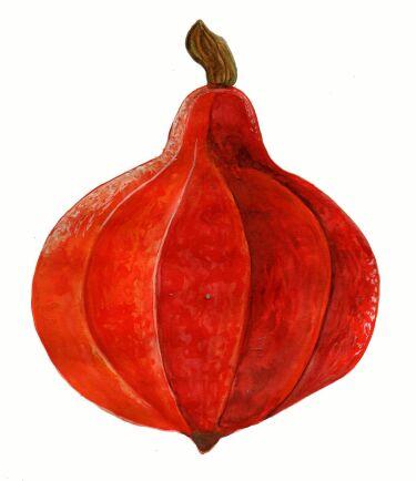 Vintersquash 'Akaguri' får lätthanterliga frukter på 1–2 kilo.