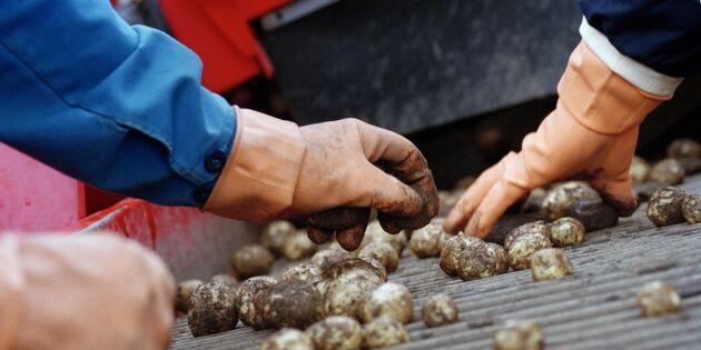 Kommun döms att betala 48,5 miljoner till potatisodlare