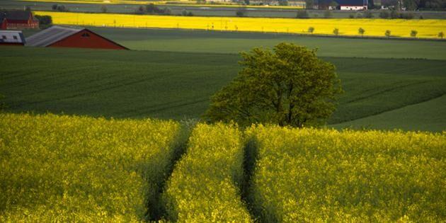 Halländska lantbrukare plågas av jordloppor. Bilden är inte tagen i Halland.