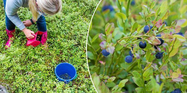 Nytt fenomen: Blåbären faller av riset