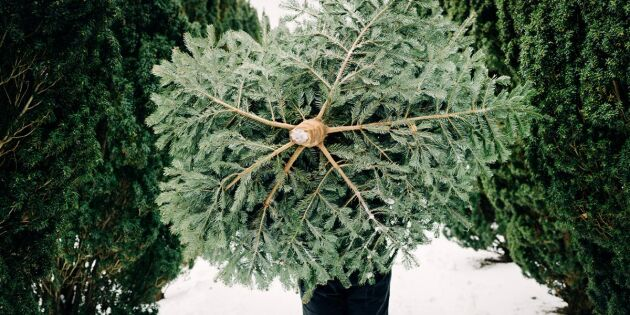 Stora granguiden: Så känner du igen julens träd