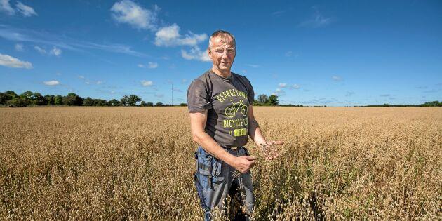 Nygamla framtidsgrödan: Gotlandslinsen är tillbaka på ön