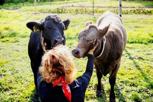 De två kalvarna Spätzle och Grålla gillar att bli kliade på halsen och bakom öronen.