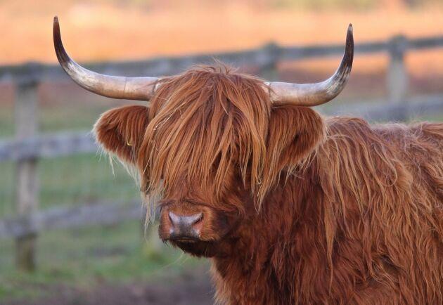 Highland cattle-kon är rustad för vinterkylan. Det är inte djuret på bilden som är försvunnet.