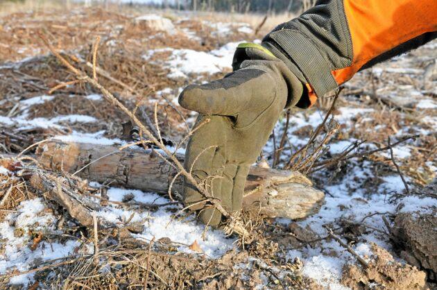 En av många döda granplantor efter vildsvinens framfart. Christer Wallin visar uppbökad täckrotsplanta.