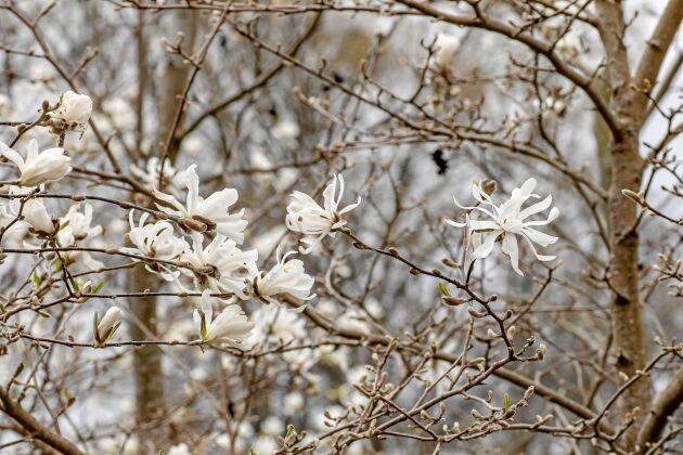 Stjärnmagnolia får bedårande små blommor med smala kronblad.