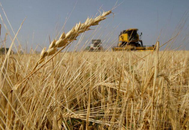 Kornbönder i Australien drabbas av Kinas nya strafftullar.