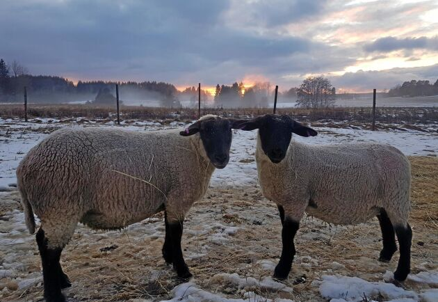 Jaquline Elgh i Vittinge, Uppland, har fotograferat sina båda tackor.