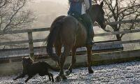 Häst svårt skadad efter hundattack