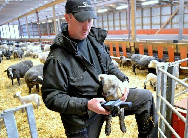 Tacklammet var det sjuhundrade och sista att födas på Norrby gård under vinterns lamning. Tack vare sitt elektroniska öronmärke kommer hon att journalföras noggrannt av Tomas Olsson.