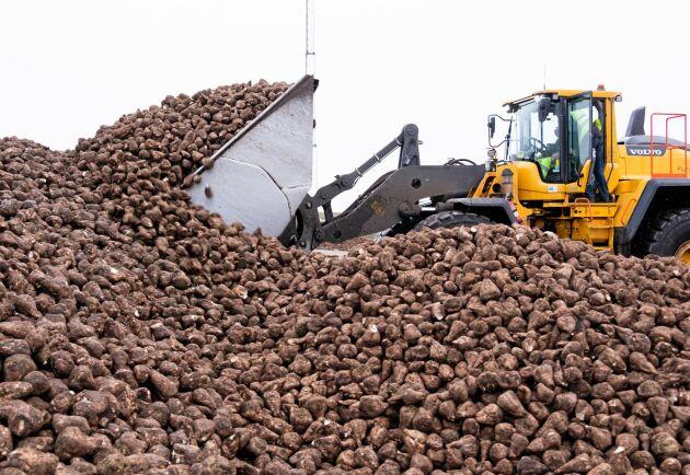 Årets sockerbetsskörd ser lovande ut, men problem vid sockerbruket i Örtofta försenar kampanjen. Arkivbild.