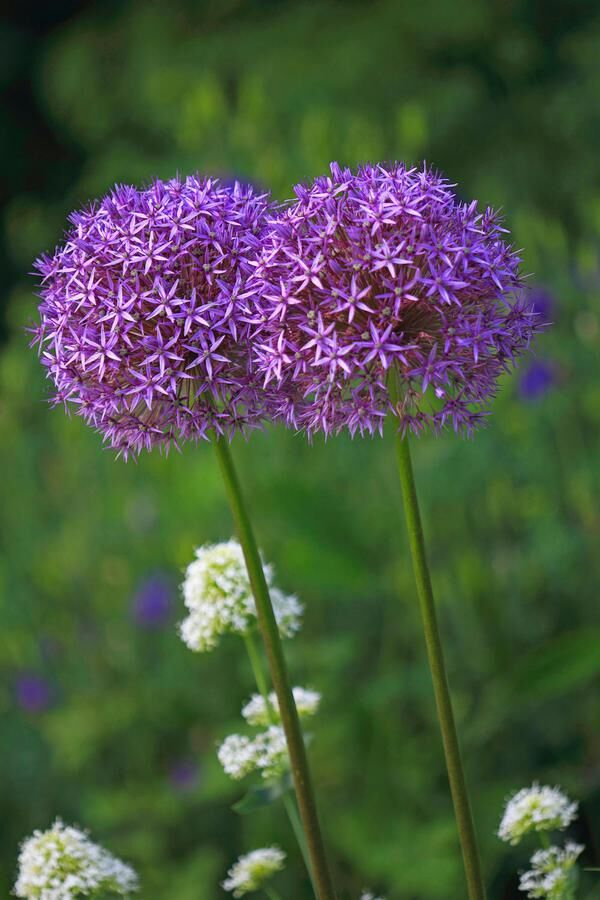 Star of Persia, Ornamental onion, Persian Onion (Allium christophii), blooming