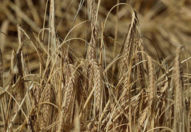 Högre pris på korn trycker upp världsmarknadspriset på livsmedel. Arkivbild.