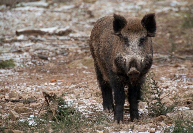 Den ökande vildsvinsjakten lär innebära fler recept på vildsvinsgryta och vildsvinsburgare framöver.