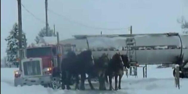 Se klipp med kraft: Mjölkbil i diket räddas av hästarna