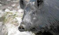 Jordbruksverket får svinpestuppdrag