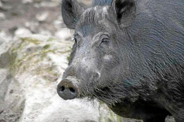 Vildsvin kan sprida afrikansk svinpest, liksom människor.