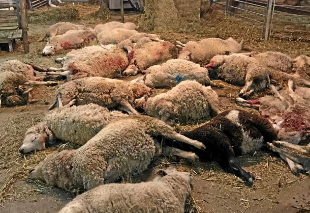 22 får var så allvarligt skadade att de fick avlivas av veterinär. Ytterligare tio hålls under observation.