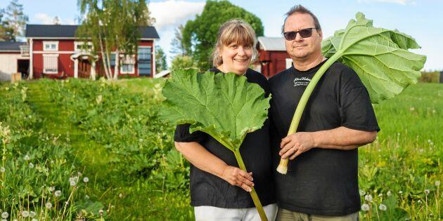 Alterhedens Rabarberi – Sveriges nordligaste rabarberodling