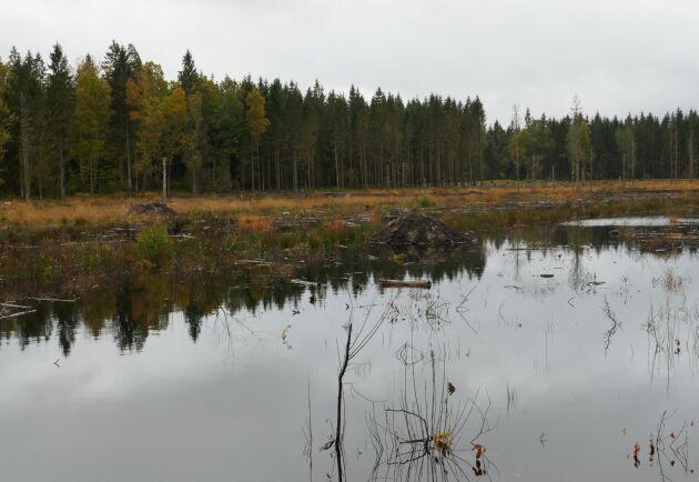 Jordbrukare ska bland annat kunna få ersättning för nyanläggning av våtmarker för att fånga upp växtnäringsläckage. Arkivbild på anlagd våtmark i skog.
