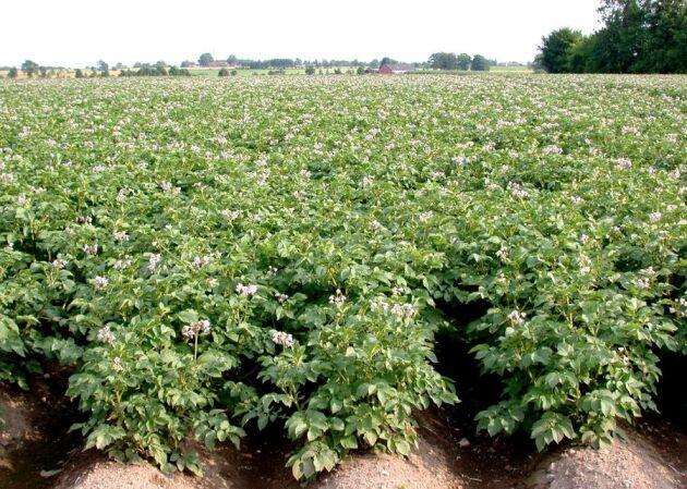Smittan kan stoppas bland potatisplantorna.