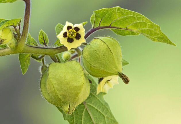 Physalis blommar i gult och purpur.