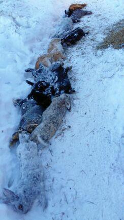 Ett fyrtiotal kaniner hade släppts ut, varav 13 döda hade radats upp på marken.