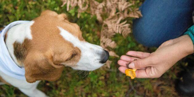 Så tränar du din hund att hitta kantareller – steg för steg