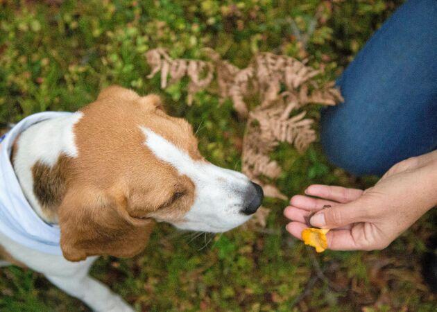 Träna din hund att hitta kantareller – steg för steg