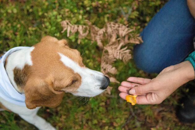 Första steget i att lära hunden söka kantarell är att ha kantarell och godis i handen.