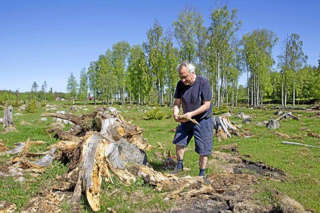 """Denna mark röjdes för 13 år sedan och i dag lossnar granstubbarna lätt med ett ryck från en grävmaskin. """"Jag trodde inte att granstubbarna skulle ruttna så fort"""", säger Kjell Nilsson."""
