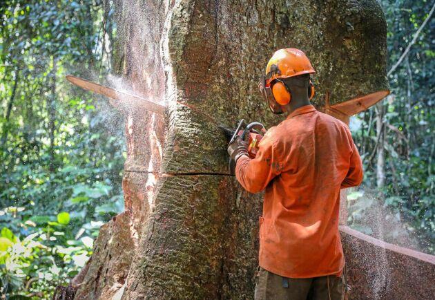 Jättestockar från regnskogen kapas manuellt på timmerplanen. Innan trädet kapas måste plankrötterna sågas bort.
