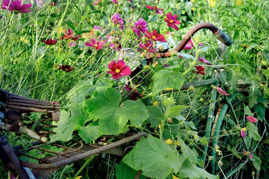 Skrotcykelspaljén har blivit ett signum för Skillnadens Trädgård. Här med rosenskäran 'Rubenza' och gurka.
