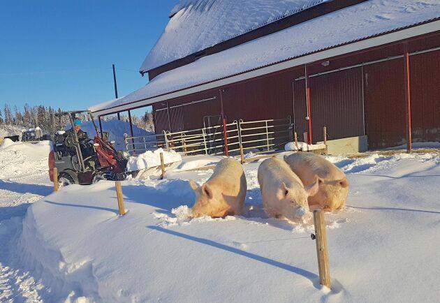 Vintertid används ellastaren bland annat till att skotta snö.