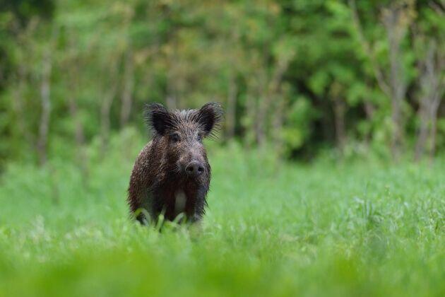 Vildsvinet är normalt nattaktivt men ostört kan det även vara aktivt och leta föda på dagen.