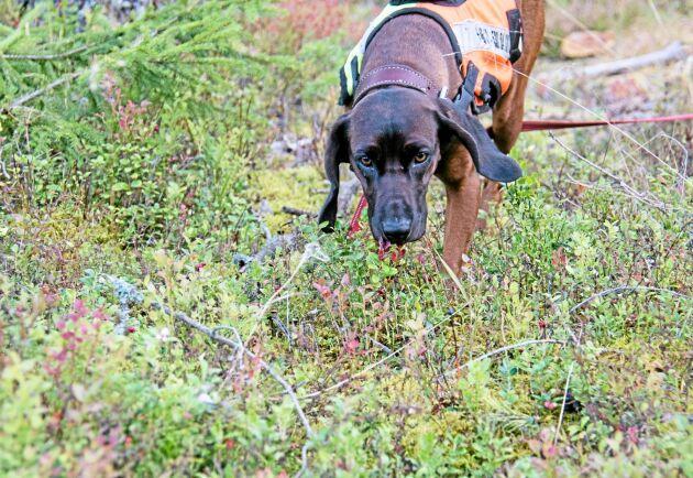 Nosen är verktyget men den bayerska viltspårhunden kan också gå ikapp skadat vilt och hålla fast det, skälla vid dött vilt och ställa det vid behov.