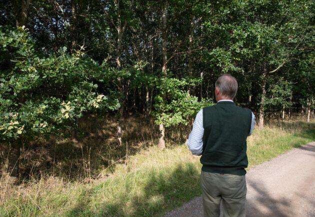 De här ekarna planterades för 30 år sedan. Rudolf Tornerhjelm har planer på att gallra genom att ta träd med rötter och allt för att plantera kring de planerade dammarna.