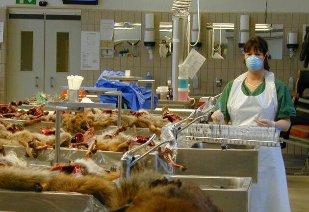 År 2011 analyserade Statens veterinärmedicinska anstalt mängder av prover från döda rävar i jakten på parasiten dvärgbandmask som hittats för första gången i Sverige. Arkivbild