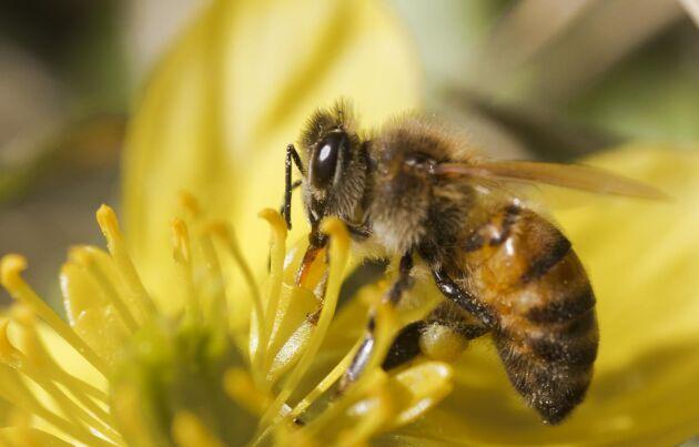 Hittar bina inte tillräckligt med nekar äter de upp sin honung själva och skörden sjunker.
