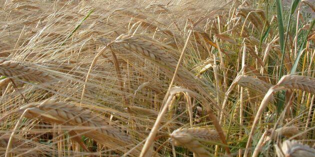 Kornet ökar i intresse