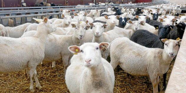 Fårspecial: Ljusning för svensk ull