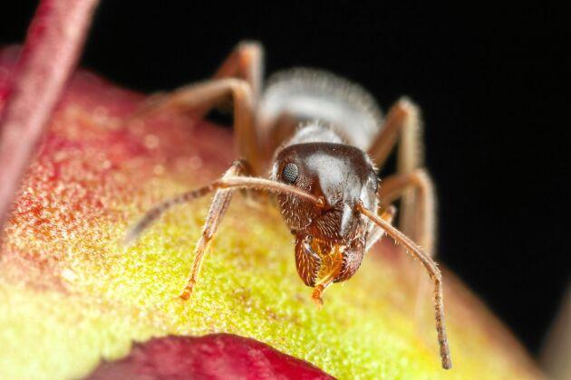 Gott, gottigott, gott! Lycklig myra slickar på den söta pionknoppen.