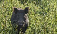 Finland inför regler för att hindra svinpest