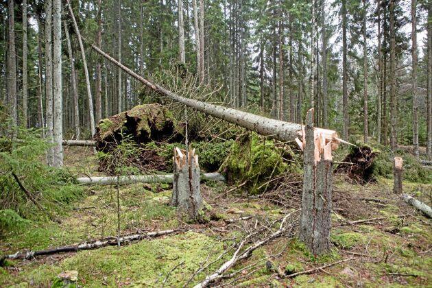 Stormen Gorm 2015 fällde mellan 2 och 2,5 miljoner kubikmeter skog.