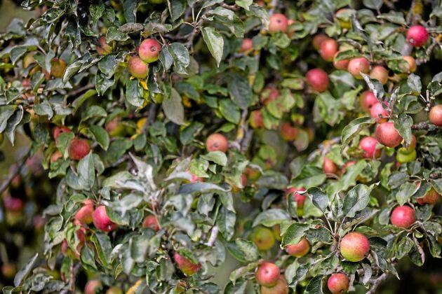 Det är ingen brist på äpplen i Normandie i år, träden dignar av frukt.