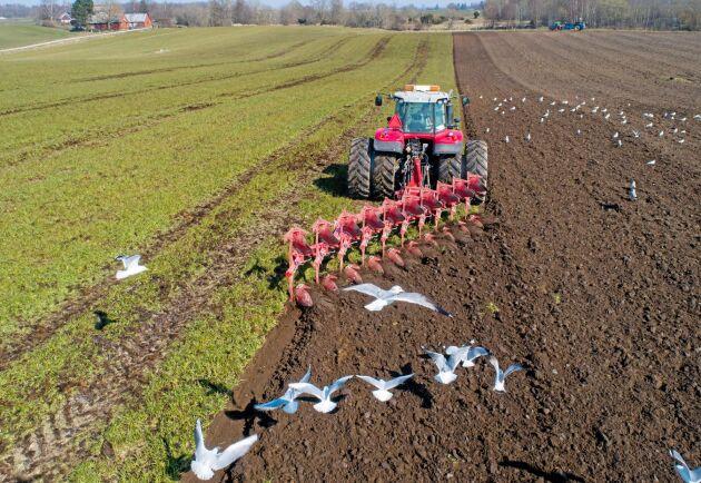 Spanjor. Ovlac Mini plöjer idealiskt på 15 centimeters arbetsdjup. Här plöjer Hans Laxmar ner både fånggröda och gödsel och kör då på 17-18 centimeter.